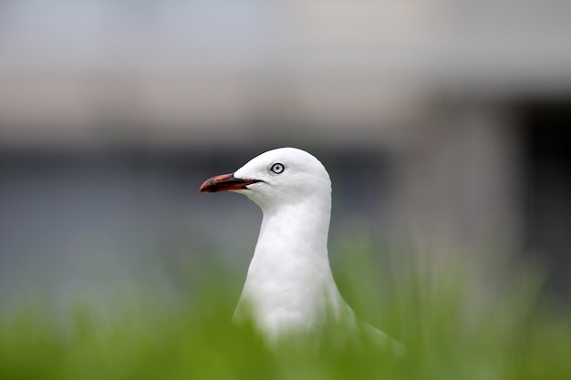 Selektiver fokusschuss einer weißen europäischen silbermöwe, umgeben von gras mit einem unscharfen hintergrund Kostenlose Fotos