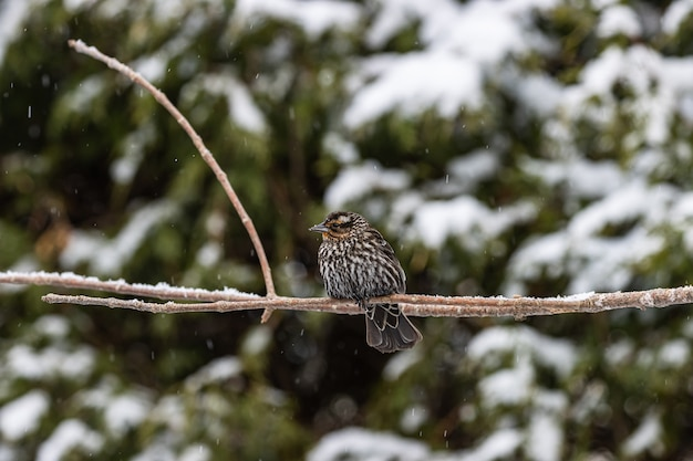 Selektiver fokusschuss eines kleinen vogels auf einem dünnen ast, der an einem verschneiten tag gefangen genommen wird Kostenlose Fotos