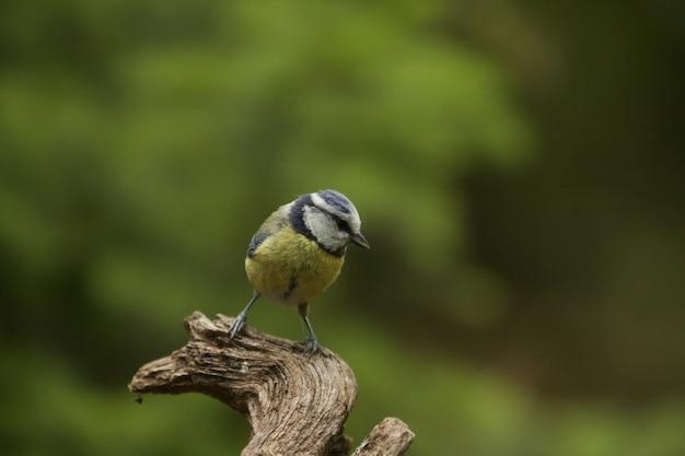 Selektiver fokusschuss eines lustigen blaumeisenvogels Kostenlose Fotos