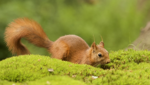 Selektiver fokusschuss eines niedlichen braunen fuchs-eichhörnchens Kostenlose Fotos