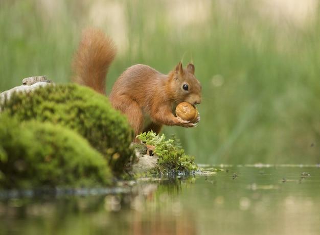 Selektiver fokusschuss eines niedlichen braunen fuchseichhörnchens Kostenlose Fotos