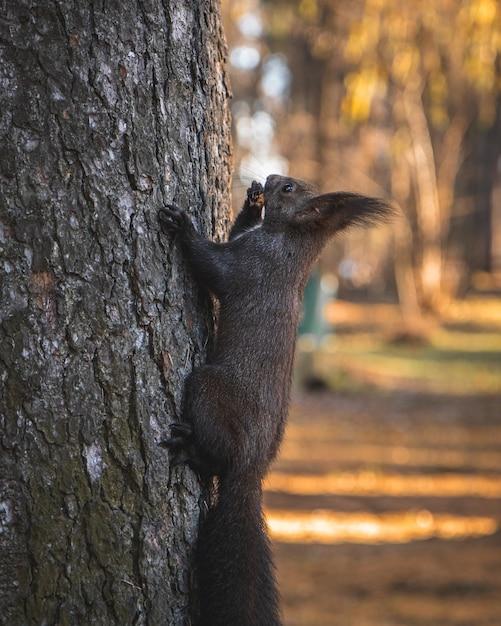 Selektiver fokusschuss eines niedlichen eichhörnchens mit quastenohren, das auf den baum klettert Kostenlose Fotos