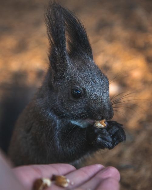 Selektiver fokusschuss eines niedlichen eichhörnchens mit quastenohren, das sein essen mit einem unscharfen hintergrund isst Kostenlose Fotos