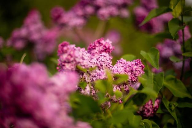 Selektiver fokusschuss von fliederblumen, die in einem feld blühen Kostenlose Fotos