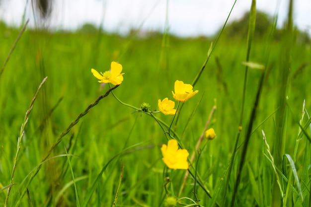 Selektiver fokusschuss von gelben kriechenden butterblumen, die unter dem grünen gras wachsen Kostenlose Fotos