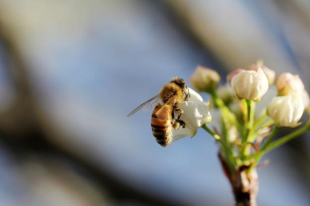 Selektiver nahaufnahmeschuss einer honigbiene, die nektar auf einer weißen blume sammelt Kostenlose Fotos