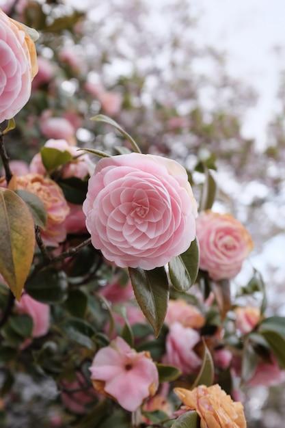 Selektiver nahaufnahmeschuss einer schönen rosa blume mit einer unschärfe am tag Kostenlose Fotos