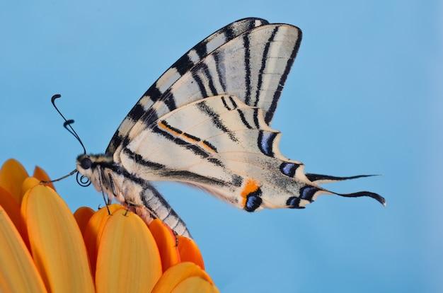 Seltener schwalbenschwanz (iphiclides podalirius) auf einer orangefarbenen blume mit einem blauen raum Premium Fotos