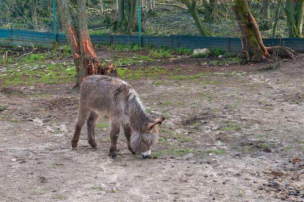 Shaggy jerusalem pony auf der suche nach leckerem essen Premium Fotos