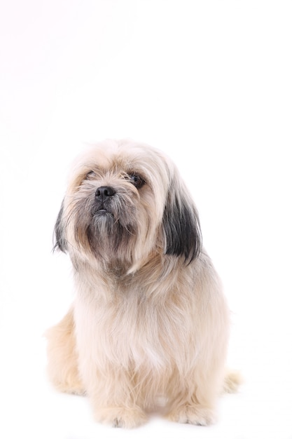 Shih tzu-hund lokalisiert auf einem weißen hintergrund Premium Fotos