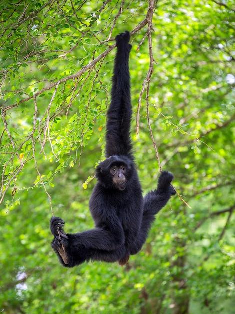 Siamang (giant muntjac oder black gibbons) hängen an bäumen in einer natürlichen umgebung. Premium Fotos