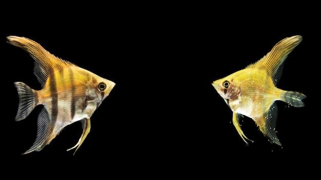 Siamesische gelbe kämpfende betta fische widergespiegelt Kostenlose Fotos