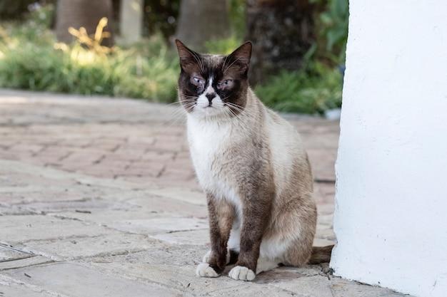 Siamesische katze in einer ecke der wand, die neugierig schaut Premium Fotos