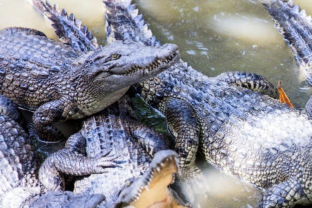 Siamesische krokodile mekong delta in vietnam Premium Fotos