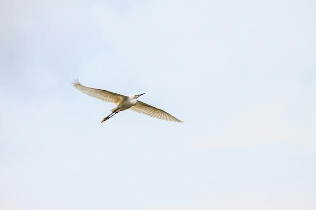 Silberreiher fliegen Premium Fotos