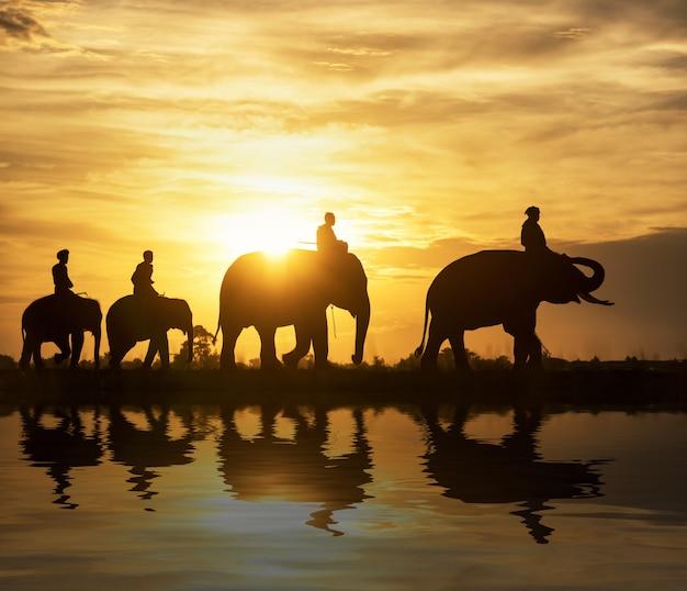 Silhouettieren sie elefanten auf dem hintergrund des sonnenuntergangs, der elefant, der in surin thailand thailändisch ist. Premium Fotos
