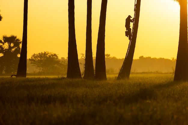 Siluette bilder. die leute klettern morgens auf die palmen. Premium Fotos