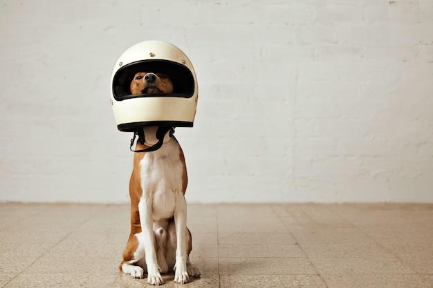 Sitzender basenji-hund, der einen riesigen weißen motorradhelm in einem raum mit weißen wänden und hellen holzböden trägt Kostenlose Fotos