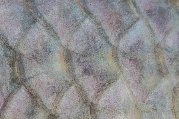 Skalen von süßwasserfischen Premium Fotos