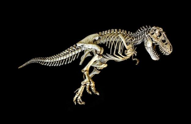 Skelett dinosaurier tyrannosaurus (t-rex) Premium Fotos