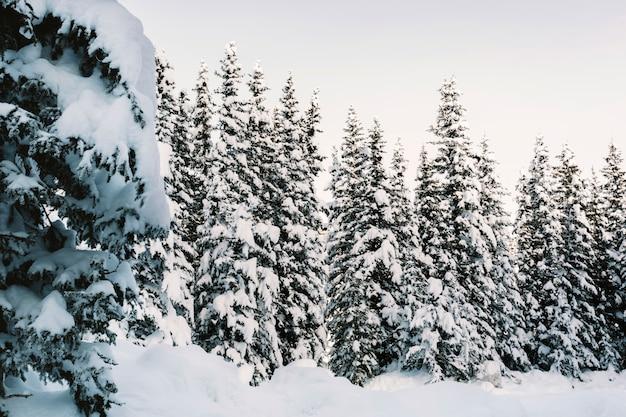 Snowy-kieferwald Kostenlose Fotos