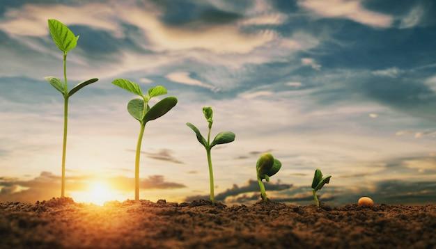 Sojabohnenwachstum im bauernhof mit hintergrund des blauen himmels. landwirtschaftsanlage, die wachsendes schrittkonzept sät Premium Fotos