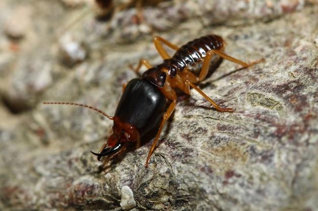 Soldat-termite von bodenfressern Premium Fotos