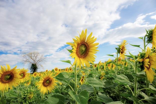 Sonnenblume auf feld am himmel. Premium Fotos