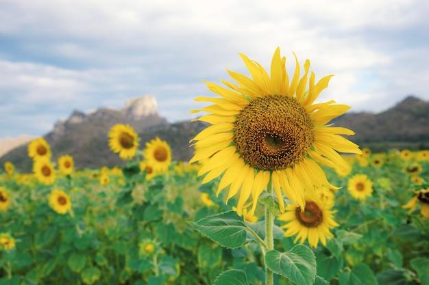 Sonnenblume auf feld am sommer. Premium Fotos
