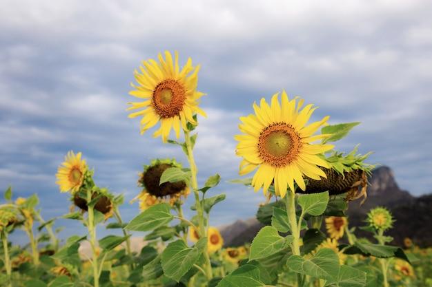 Sonnenblume im feld. Premium Fotos
