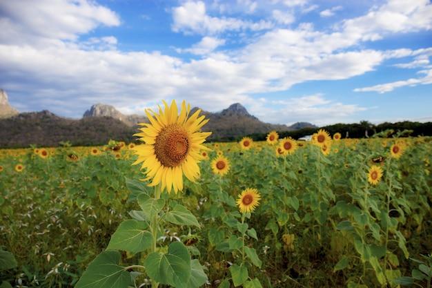 Sonnenblume mit hintergrund des blauen himmels. Premium Fotos
