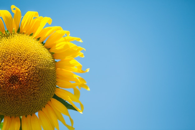 Sonnenblume. Kostenlose Fotos