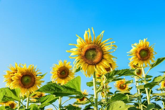 Sonnenblumen auf dem feld mit blauem himmel Kostenlose Fotos