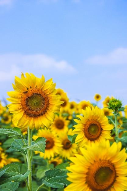 Sonnenblumenblüte mit unschärfehimmeltag Premium Fotos