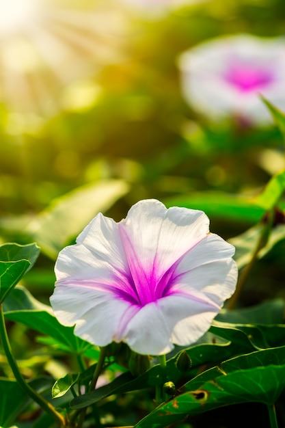 Sonnenlicht der windenblume morgens Premium Fotos