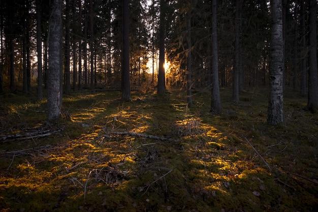 Sonnenstrahlen beleuchten den dunklen wald mit hohen bäumen Kostenlose Fotos