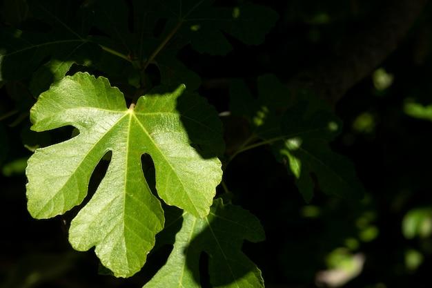 Sonniges grünes feigenblatt Premium Fotos