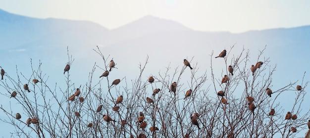 Spatzen auf den zweigen der bäume. viele vögel in den bäumen. vögel vor dem hintergrund der berge. Premium Fotos