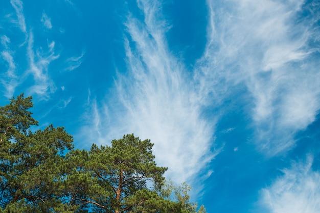 Spitze der kiefern gegen den blauen himmel mit wolken. tageslicht. Premium Fotos