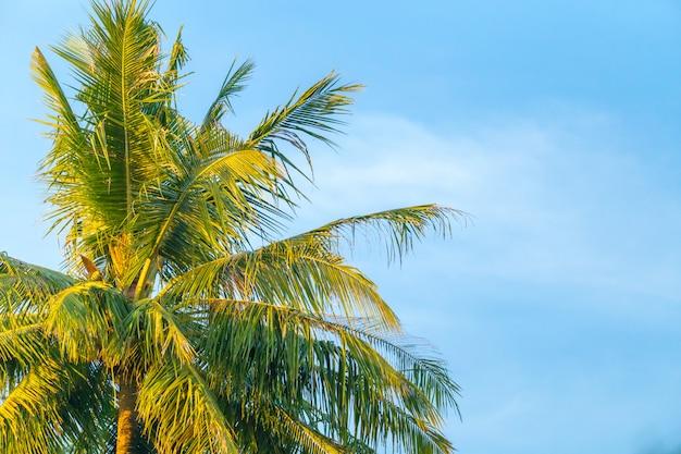 Spitze des kokosnussbaums Premium Fotos