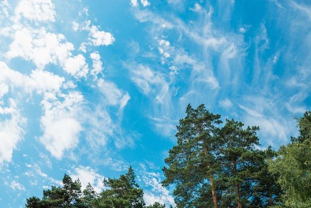 Spitzen von kiefern und birken gegen einen blauen himmel mit wolken. tageslicht. Premium Fotos