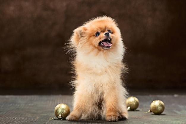 Spitzhund, der mit weihnachtskugeln aufwirft Kostenlose Fotos
