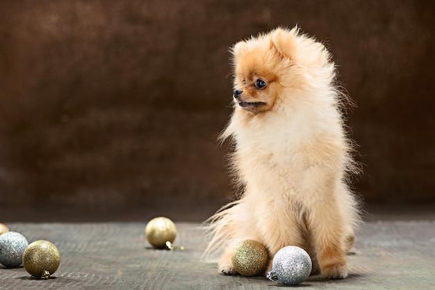 Spitzhund im studio auf neutralem hintergrund Kostenlose Fotos