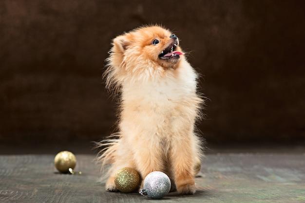 Spitzhund im studio vor neutralem hintergrund Kostenlose Fotos