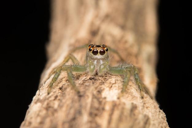 Springender spinnenraubtierlebensraum Kostenlose Fotos