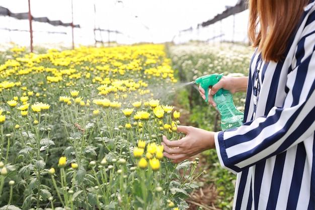 Sprühchrysantheme der attraktiven asiatischen frau blüht bauernhof Premium Fotos