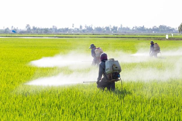 Sprühpestizid des landwirts auf dem reisgebiet Premium Fotos