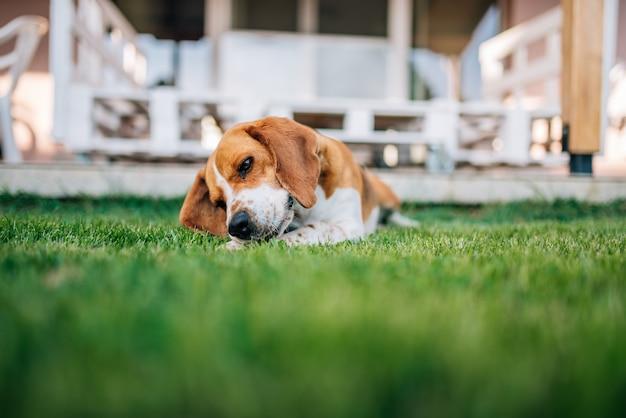Spürhundhund, der die outdors spielen mit den knochen legt. Premium Fotos