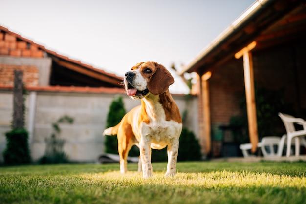 Spürhundhund draußen, im yard. Premium Fotos