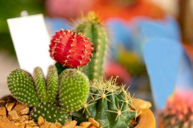 Stacheliger roter und grüner kaktus in einem topf. Premium Fotos
